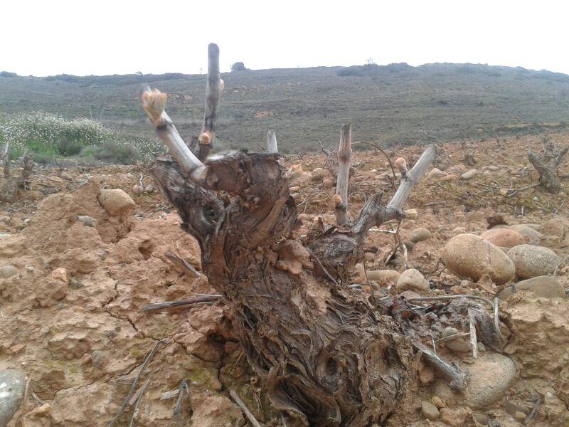 Las viñas, a punto de caramelo en Rioja